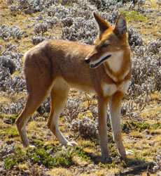 Red Jackal Ethiopian Wolf Bale Mountains